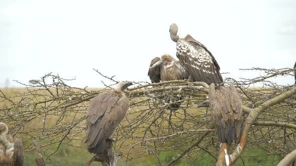 Thumbnail for White-backed vultures perching on an acacia tree
