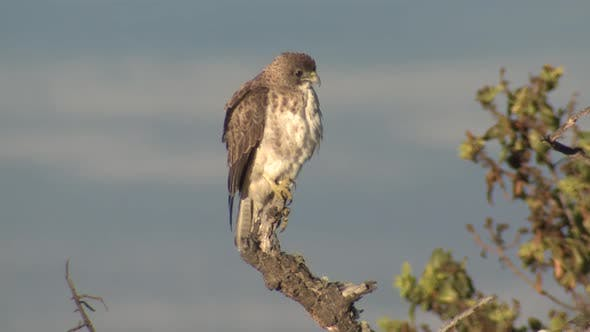 Hawaiian Hawk Adult Lone Perched Looking Around in Hawaii