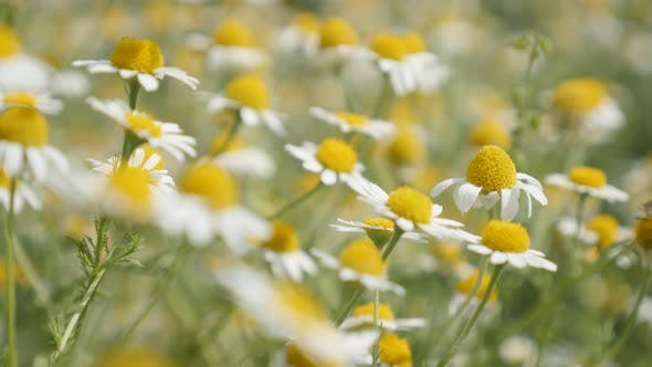 Thumbnail for Herbaceous plant  Matricaria recutita in the field 4K 2160p 30fps UltraHD footage - Common Chamomile
