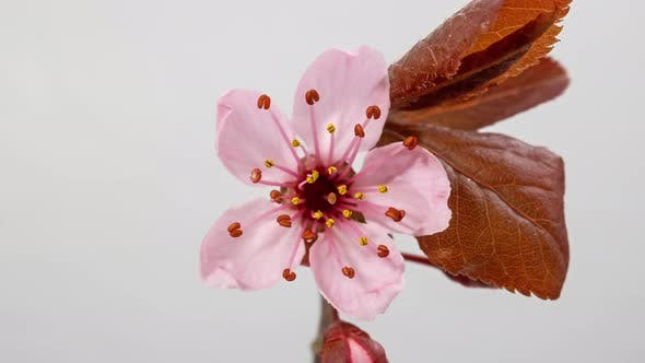 Thumbnail for Cherry Tree Blossom Macro Timelapse