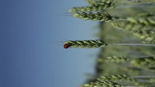 Barley with ladybirds in summer, vertical composition