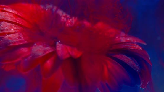 Thumbnail for Colorful Red Paint Is Flowing on Top of a Flower Under Water,