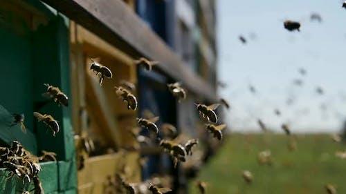 Bienen fliegen zum Bienenstock
