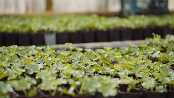 Thumbnail for Geranium Seedlings in Greenhouse Agriculture