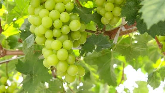 Thumbnail for Fresh Green grape farm