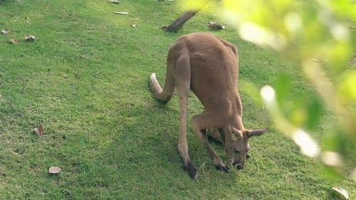 Comical Kangaroo Crawls and Looks for Food in Green Grass