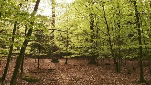 Thumbnail for Forest with Dry Leaves on the Ground and Low Hanging Leaves