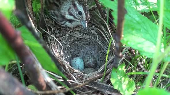 Cover Image for Song Sparrow Adult Lone Nesting in Summer Nest Eggs Blue in South Dakota