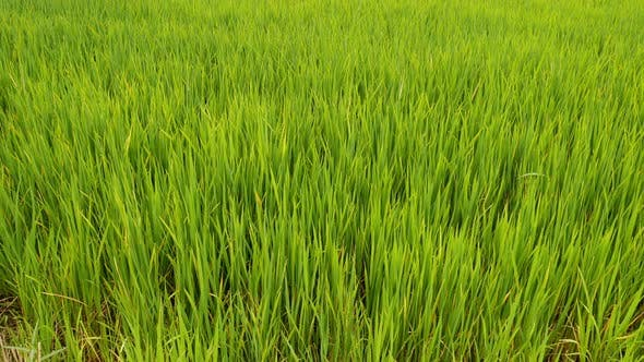 Thumbnail for Rice Field_05