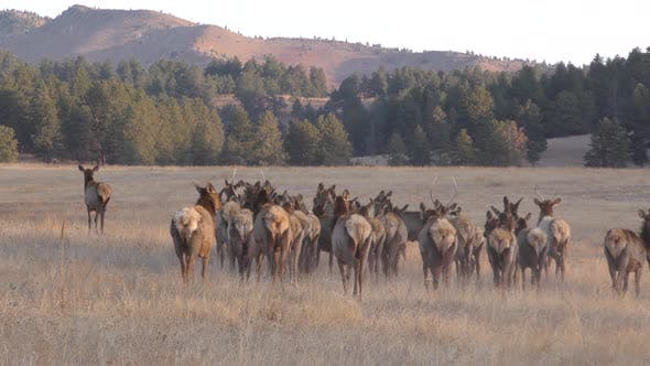 Thumbnail for Elk Cow Female Adult Young Herd Many Walking Moving in Spring Dawn Morning