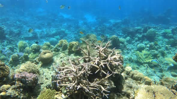 Thumbnail for Colorful Tropical Fish Swarming Around Hard and Soft Corals on a Tropical Reef