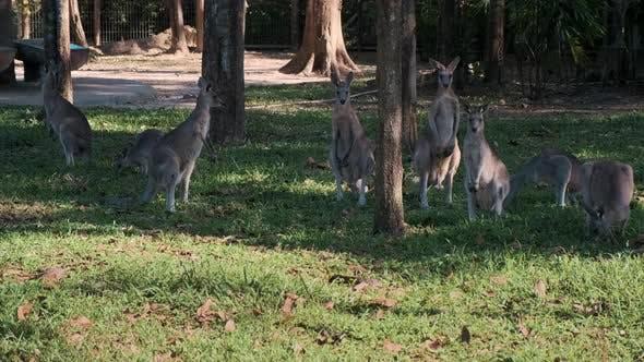 Kangaroos at the Zoo