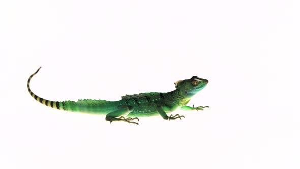 Thumbnail for Green Basilisks or Basiliscus Basiliscus on White Background.
