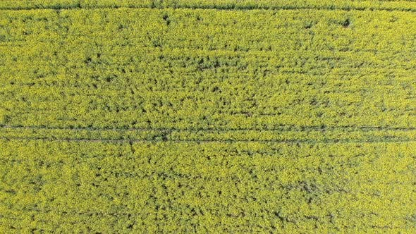 Thumbnail for Aerial Top View of Yellow Canola Field. Harvest Blooms Yellow Flowers Canola Oilseed.
