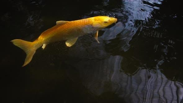 Gelbe Fische schwimmen im Wasser des dekorativen Teiches