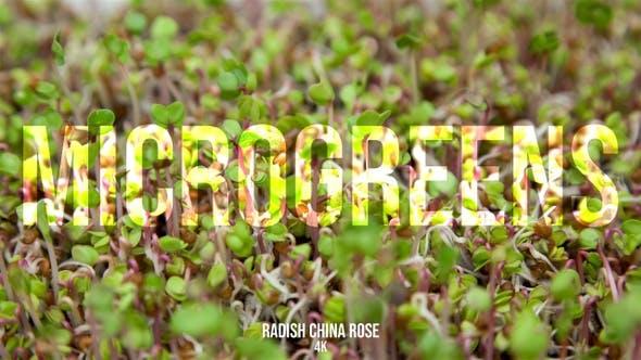 Microgreens Radish China Rose 2