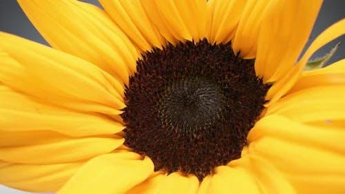 Macro Of Bright Sunflower