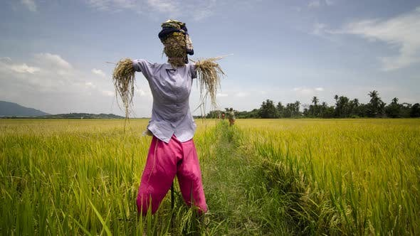 Traditional Malay clothes scarewcrow in the paddy field.