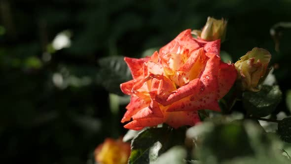 Thumbnail for Plant of the genus Rosa shallow DOF  4K 2160p 30fps UltraHD footage - Close-up  petals of orange gar