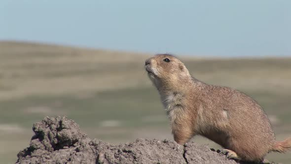 Thumbnail for Black-tailed Prairie Dog Adult Lone Alarmed Nervous Wary in Spring Bark Danger Call