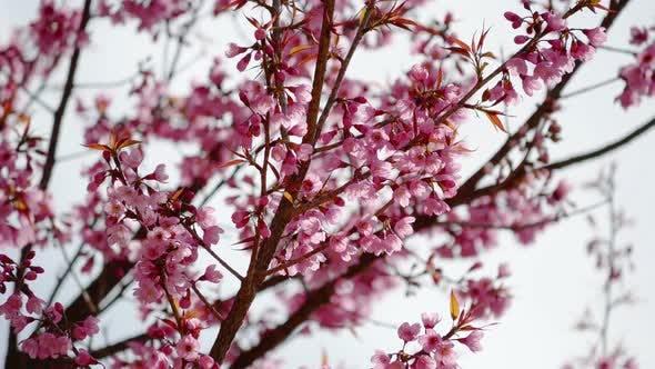 Thumbnail for Sakura