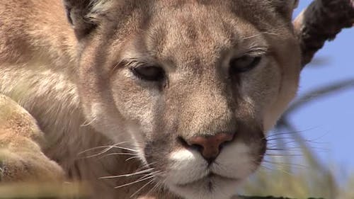 Mountain Lion Adult Alone Resting in Spring Face