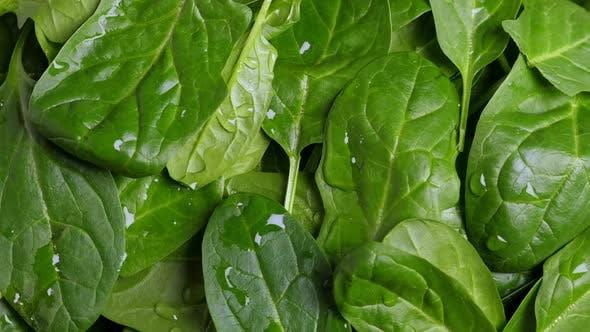Fresh Green Baby Spinach