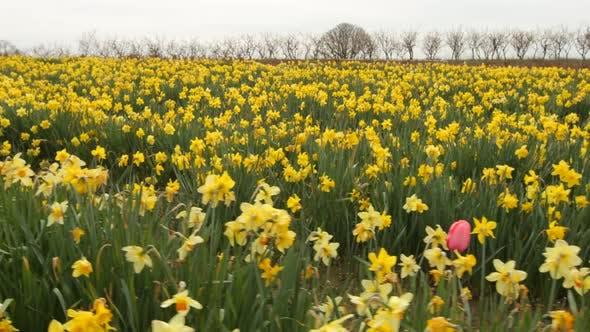 Thumbnail for Feld der Narzissen Blumen