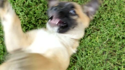 Angry Dangerous Young German Shepherd Dog Puppy Barks
