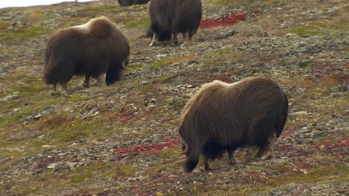 Musk Ox Herd Many Grazing Feeding Eating in Autumn Windy Wind Gray