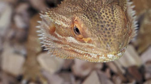 Agama or Dragon Lizards. Close Up Portrait of Lizard. Slow Motion.