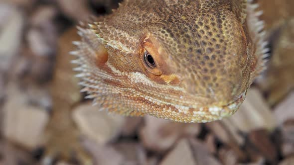 Thumbnail for Agama or Dragon Lizards. Close Up Portrait of Lizard. Slow Motion.