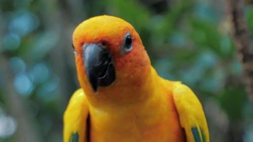 Portrait Beautiful Colorful Sun Conure (Aratinga Solstitialis Parrot) Bird