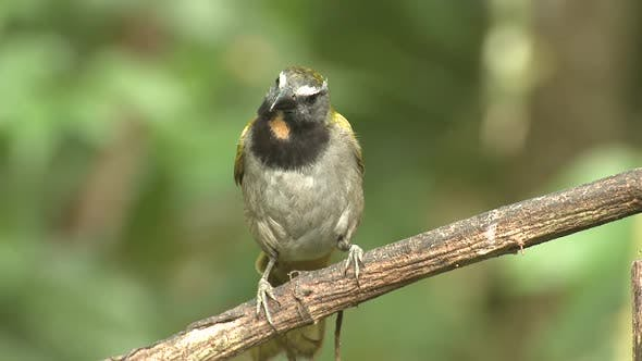 Thumbnail for Buff-throated Saltator Adult Lone Perched Flying in Costa Rica