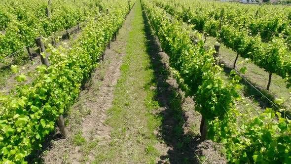 Pathway in the Vineyard