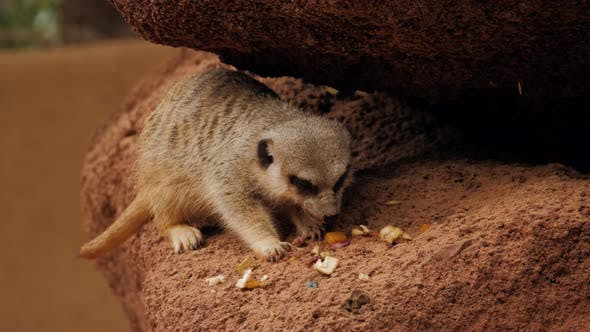 Thumbnail for Meerkats Eat Nuts Sitting on a Rock in the Desert