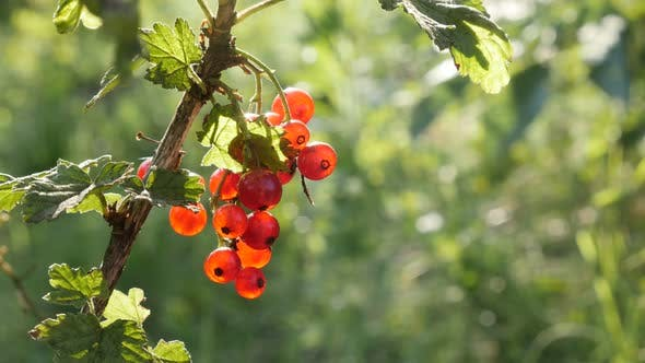 Thumbnail for Deciduous shrub  redcurrant  berries fruit close-up 4K 2160p 30fps UltraHD footage - Lot of healthy