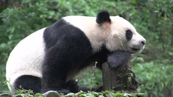 Thumbnail for Panda resting on a tree trunk in Chengdu