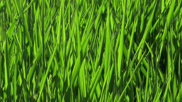 Thumbnail for Perfect Green Grass