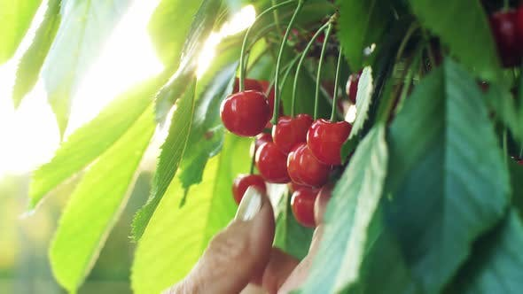 Hand Picks Cherries From the Branch