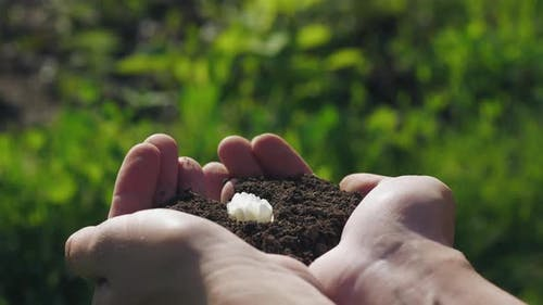 White Flower Grows Up From the Soil in the Hands