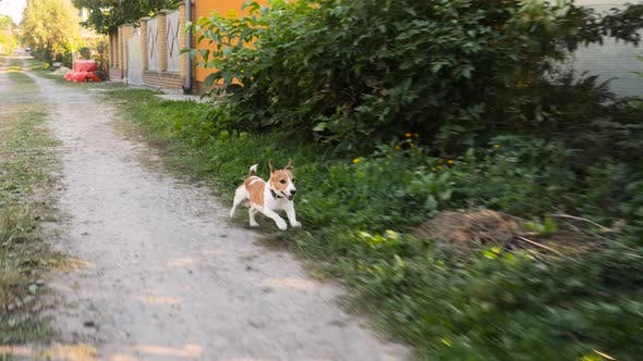 Thumbnail for Jack Russell Terrier Dog Running on Wayside. Terrier Dog Running Near Bushes of Flowers. Young