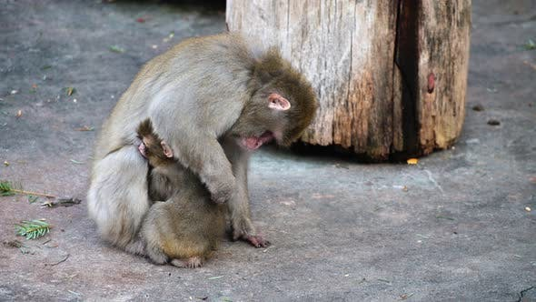 Thumbnail for Japanese Macaques