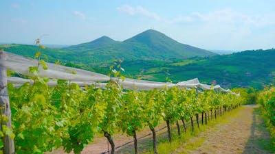 Vineyards on the Green Italian Hills