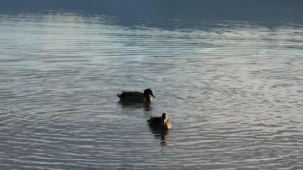 Two mallard ducks swim