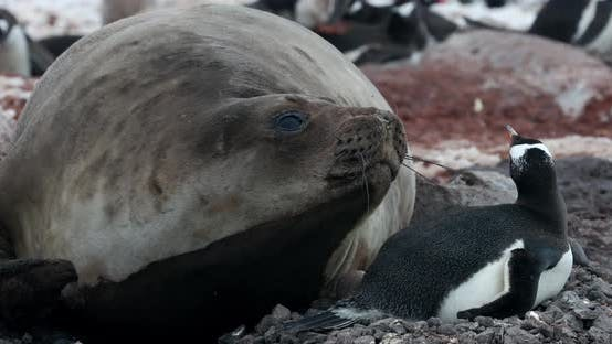 MS Elephant seal (Mirounga leonina) with gentoo penguin (Pygoscelis papua) at Waterboat Point / Anta
