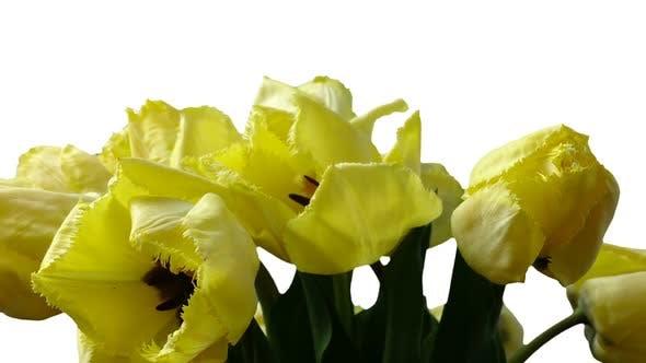 Thumbnail for Shooting Tulips 10