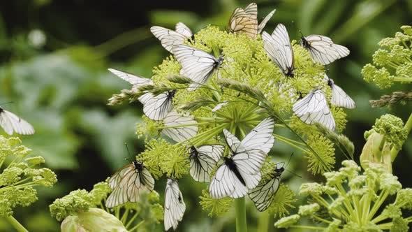 Thumbnail for Aporia crataegi, Black Veined White butterflies on the plant