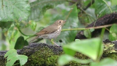 Swainson's Thrush Bird Eating in Wet Rainforest Jungle in South America