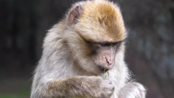 Thumbnail for Close up from a barbary ape eating